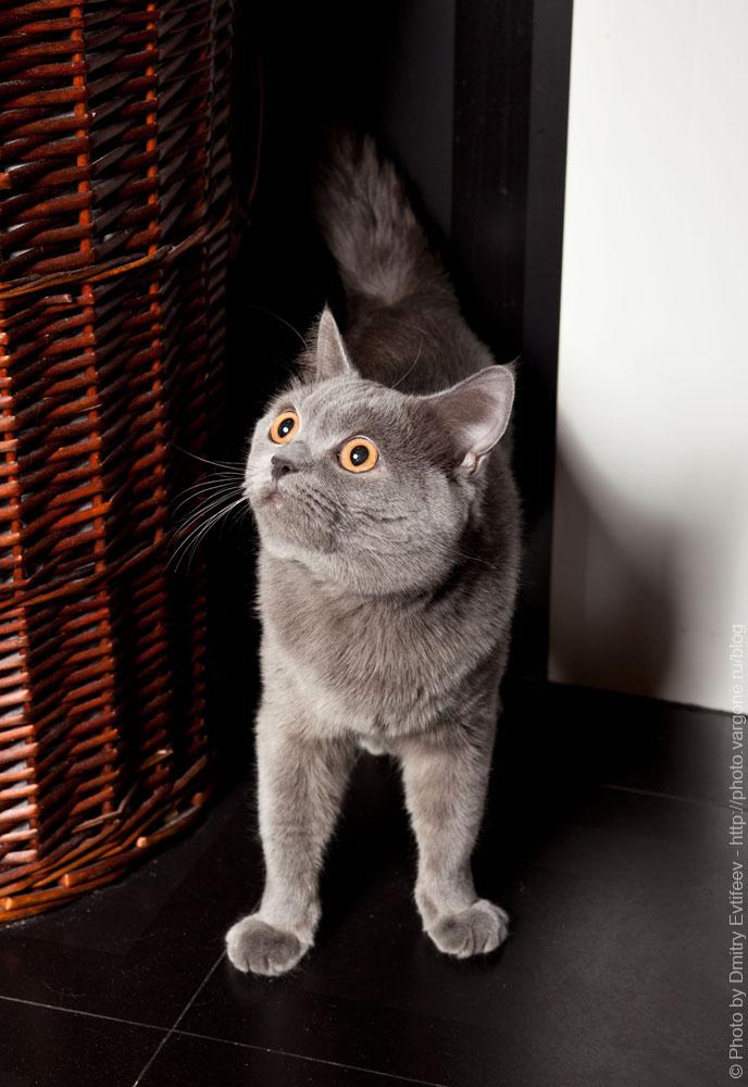 фотосъемка меха (кошек и котов) на студийный свет