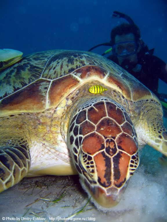 подводное фото филиппин, дайвинг, черепаха (с) на фото Дмитрий Евтифеев