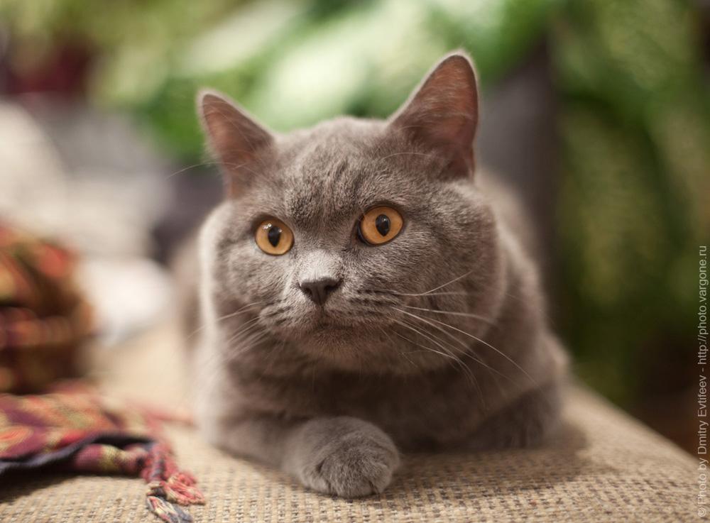 фотосъемка меха (кошек, котов) при постоянном свете